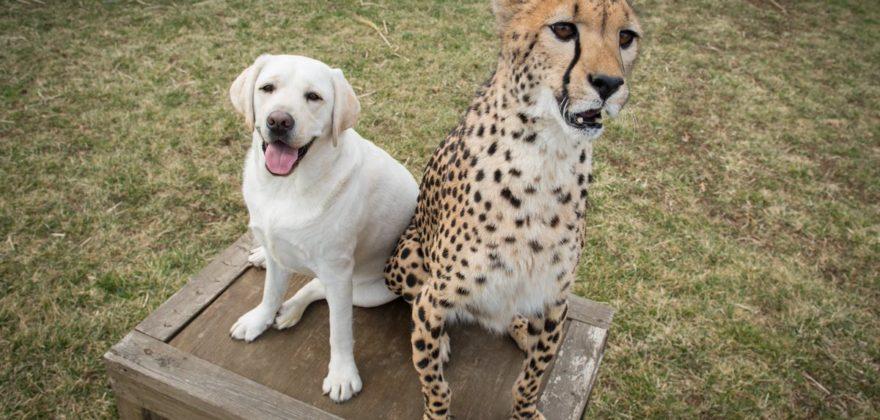 dogs n cheetahs